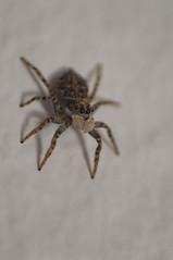 salticidae (Carles Gual) Tags: salticidae arañasaltadora spider cosina100mm