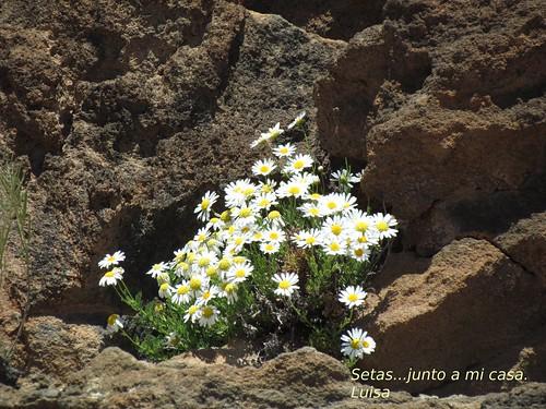 Margarita del Teide