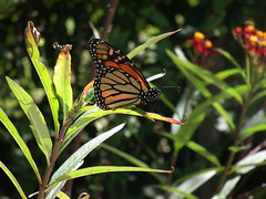 Monarch (PanilBrune) Tags: butterfly monarch bu monarque pappillon wonderer farfella