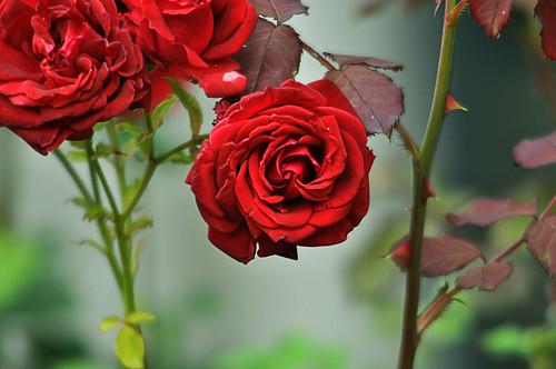 Rosa rosae rosas