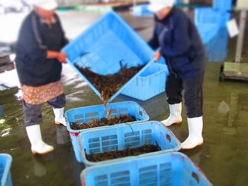 2011.6.20 北海シマエビ漁初日(競り後1)