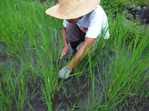 隔行除草 冠宇小美自然農稻田2011