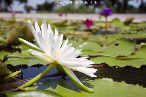 20110620白河蓮花季-5801