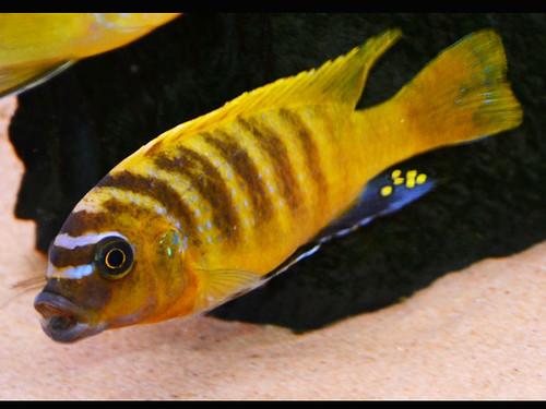 "Metriaclima sp ""zebra gold"" 'Nkhata Bay'"