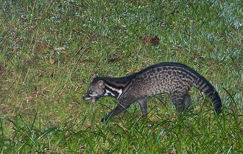 malayan civet Viverra tangalunga that visited at night IMG_7450 copy
