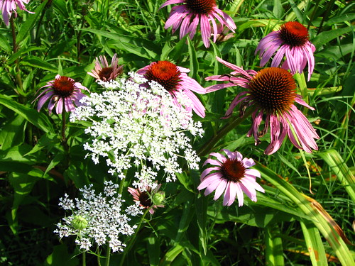 purple coneflowers and Queen Anne's Lace