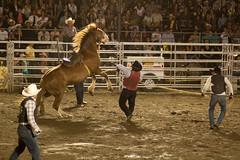 _MG_8447 (maximebergeron_photos) Tags: horse cowboy rodeo cheveaux rodo saintecatherinedelajacquescartier