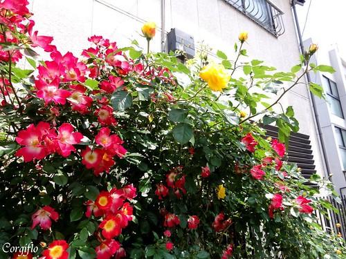 blog-110705-roses-1