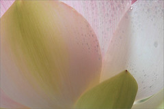 Lotus Flower Petals Macro - IMG_8874 (Bahman Farzad) Tags: flower macro water yoga peace lotus relaxing peaceful drop petal meditation therapy lotusflower lotuspetal lotuspetals lotusflowerpetals lotusflowerpetal