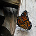 Monarch Butterfly - Papillon Monarque