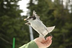 Take off (OneLushLIfe - Kaishin) Tags: wild bird grey jay gray cypress hollyburn whiskeyjack