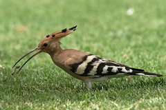 #850D3518- Happy Hoopoe (crimsonbelt) Tags: park nature birds wildlife hoopoe creekside