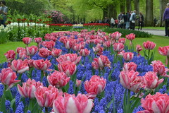 Keukenhof (Olga Sytykh) Tags: park pink flowers blue holland color colour amsterdam colore tulips may thenetherlands rosa tulip azzurro tulipa 2012 muscari keukenhof sping pinkblue         keukenhofgardens bulbplants  freephotos  keukenhofamsterdam