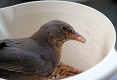A bowl full of Blackbird! (Judy's Wildlife Garden) Tags: blackbirdfemale judykennett knightonpowys abowlfullofblackbird