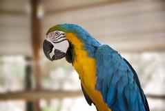 It's a parrot guys! (Brock Whittaker Photography) Tags: blue portrait blur bird up yellow canon lens photography photo cool close desert bokeh first parrot brock 5d maricopa whittaker 24105mm