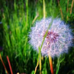 Dandelion (this photo) Tags: summer flower green art spring dandelion gras blume
