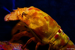 Sculptured slipper lobster (PHOTOARTEL ( Lara Eichenwald )) Tags: lobster slipperlobster invertebrates abstractphoto sculpturedslipperlobster