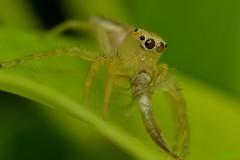 @work (abiommacro2) Tags: macro nature up spider nikon close jumper tamron d3100