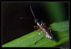 Diplazon laetatorius (cquintin) Tags: arthropoda hymenoptera ichneumonidae diplazon laetatorius diplazontinae