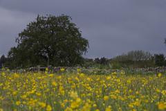 Buttercup Field Eyam (George W Dawn) Tags: field village buttercup district derbyshire peak eyam