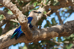 A Blue-Bellied Roller (Coracias cyanogaster) perched in a fig tree (Dave Montreuil) Tags: africa blue wild tree bird nature beautiful animal nice colorful natural fig wildlife profile sharp westafrica roller gambia environment perched senegal lovely setting habitat bellied ruffled perching coracias bluebellied cyanogaster