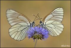 Aporia crataegi (Pieride del biancospino) (alfvet) Tags: macro nikon ngc natura npc soe insetti farfalle greatphotographers sigma150 parcodelticino veterinarifotografi d5100 greatestphotographers