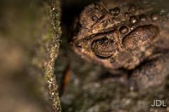 Eastern American Toad (JonathanDL) Tags: animal amphibian toad herp anura amphibia bufonidae easternamericantoad anaxyrus truetoad anaxyrusamericanus