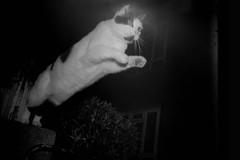 LC-A + flash (danielcane) Tags: blackandwhite bw pet cats pets white black london film animal animals cat 35mm hair fur blackwhite jump jumping paw lomo lca feline nw flash iso 35mmfilm 400 epson analogue paws 400iso c41 northwestlondon v500 unbranded nwlondon lomokompaktautomat blackpath epsonv500 myneighbourhood2 westhampsteadfriesiancat