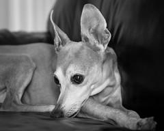 the shy one.. (heathervermeys) Tags: hound dog dachshund italiangreyhound blackandwhite canon cd 6d beagle hounddogs wienerdog