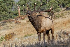 899 bull elk (starc283) Tags: rut elk nature wildlife bull rutting mating herd flickr starc283 natures finest animal outdoor stag