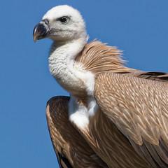 Vautour en Crte (Lucille-bs) Tags: europe grce greece crte creta kriti nature vautour rapace oiseau 500x500 plume