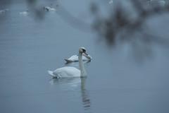 16_09_25_Herbst am Bodensee-13.jpg (werwen01) Tags: friedrichshafen herbst ereignisse schwan jahreszeit orte personen bodensee morgenstunde vgel ostufer