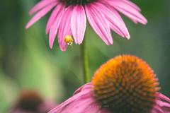 I wonder if I can make that jump? (Christine Swanzy) Tags: coneflower ladybug