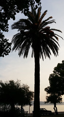 Evening Palm (Been Around) Tags: croatia cro croazia kroatien hrvatska republikahrvatska concordians worldtrekker travellers thisphotorocks travel europe eu europa expressyourselfaward europeanunion kastela novikastel palm palme dalmatia dalmatien split katelnovi katela
