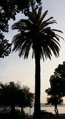 Evening Palm (Been Around) Tags: croatia cro croazia kroatien hrvatska republikahrvatska concordians worldtrekker travellers thisphotorocks travel europe eu europa expressyourselfaward europeanunion kastela novikastel palm palme dalmatia dalmatien split kaštelnovi kaštela