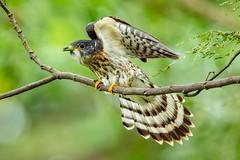 Hawk Cuckoo getting ready to fly (Modestus Lorence) Tags: hawk birds cuckoo malaysian migratory singapore canon 5dsr 500mmf4isii