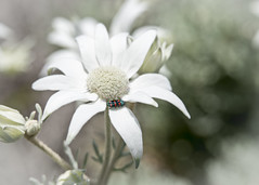 Actinotus helianthi (Timothy M Roberts) Tags: actinotus helianthi flower flannel bug maroubra australia