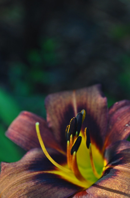 Hemerocallis 'Milk Chocolate'