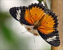 Orange Lacewing (Foto Martien (thanks for over 2.000.000 views)) Tags: holland colour macro netherlands beautiful dutch butterfly insect indonesia big wings southeastasia colorfull great large nederland grand papillon tropical mariposa coloured veluwe schmetterling vlinder kleurrijk macrophoto butterflyhouse kleuren groot polychrome butterflygarden bont tropisch harskamp veelkleurig macrofoto vlindertuin kleurig northernaustralia macroopname zorgboerderij vlinderkas orangelacewing a550 cethosiapenthesilea passiflorahoeve martienuiterweerd bestcapturesaoi martienarnhem sonyalpha550 mygearandme mygearandmepremium minoltamacro100mm28mm mygearandmebronze mygearandmesilver mygearandmegold mygearandmeplatinum mygearandmediamond fotomartien