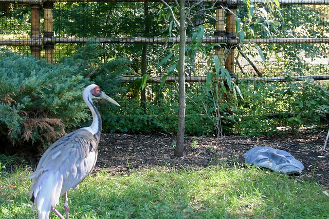 White Naped Crane ~ Turtle Back Zoo
