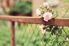 Happy Fence Friday and Midsummer! (Karin A ~) Tags: rose copenhagen dof midsummer sweet sweden rusty hff kpenhamn fencefriday