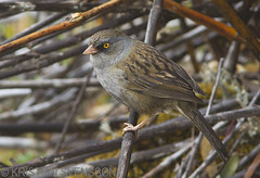 Volcano Junco (Junco vulcani) (macronyx) Tags: bird nature birds costarica wildlife junco birding aves vogel oiseaux fåglar volcanojunco juncovulcani