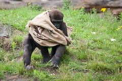 2011-06-26-14h49m48.272P7898 (A.J. Haverkamp) Tags: zoo rotterdam blijdorp gorilla dierentuin diergaardeblijdorp westelijkelaaglandgorilla nasibu httpwwwdiergaardeblijdorpnl canonef100400mmf4556lisusmlens pobfrankfurtgermany dob01042007