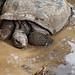 Chamarel, Terre des Sept Couleurs, tortues géantes