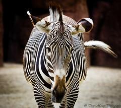 Zebra Portrait - TroyMarcyPhotography.com