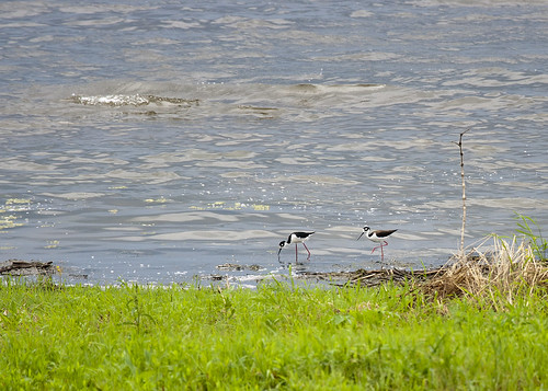 06052011JGW-EmiquonPumpHouseRoad-BlackNeckedStilts_MG_8202