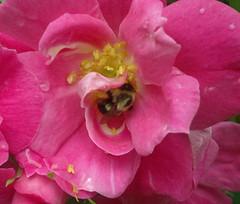 William baffin rose 7 (triciawd) Tags: roses clematis lavender fuschia hydrangea honeysuckle petunia peonies astilbeflowers galiardia heucheraflowers
