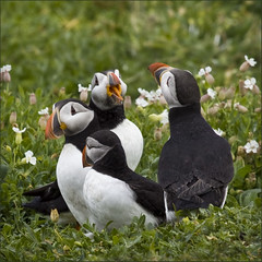 four friends (Black Cat Photos) Tags: uk flowers friends sea england bird nature grass blackcat four photography boat photo movement europe action wildlife gull 4 performance move m northumberland puffin ritual perform gesture boattrip farne farneislands farn colony bonding campion fraterculaarctica fourfriends openbeak farneisland farns farnislands blackcatphotos