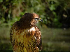 Red-tailed Hawks are large, sharp-taloned birds (Bn) Tags: shadow cliff sun sunlight mountains alps bird nature forest dark geotagged austria spring eyes topf50 nest hawk tail watching hunting sharp beam alpine raptor valley edge scream prey soar birdofprey falconry hohe redtailedhawk buteojamaicensis rayoflight talons klauwen rauris buizerd habitats roofvogel hochalm tauern raspy 50faves nationalparkhohetauern rauristal hoachalm roodstaartbuizerd raurisvalley geo:lon=12965337 geo:lat=47234038