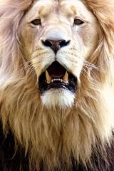 Avatar (marfis75) Tags: portrait eye face animal cat zoo leo creative lion commons cc bigcat creativecommons beast afrika katze predator roar katzen tier lwe rudel zootier panthera raubkatze raubtiere brllen ccbysa roared marfis75 groskatze rudeltier gebrllt marfis75onflickr